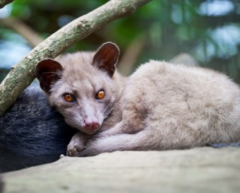 asian-palm-civet