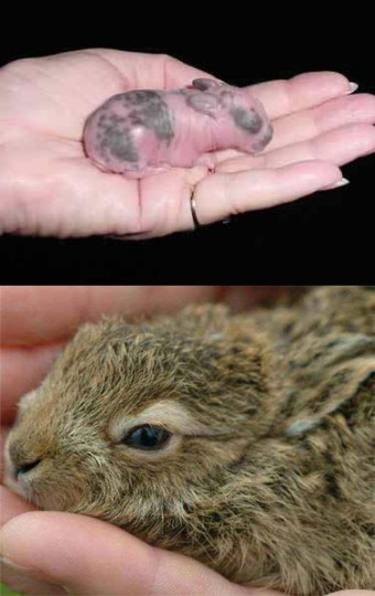 Newborn Rabbit (top) vs. Newborn Hare (bottom)
