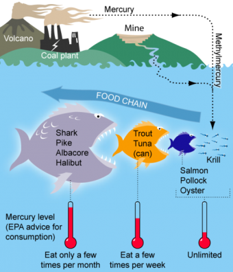 mercury-food-chain