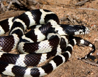 California-Kingsnake