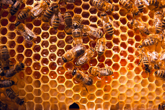 honey-bees