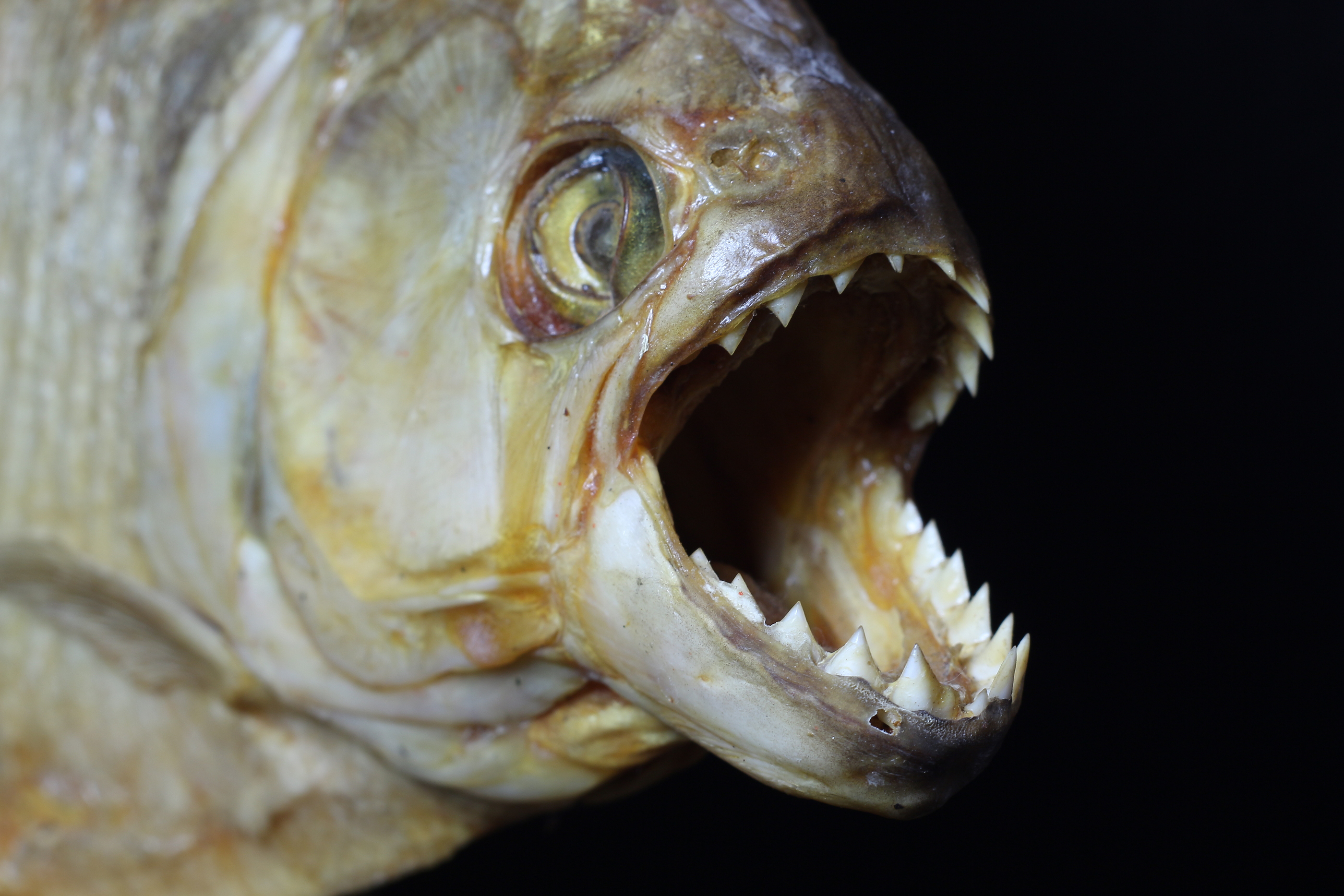 Could piranha really turn you into a skeleton in a matter for Pictures of piranha fish