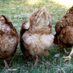 chicken-butts