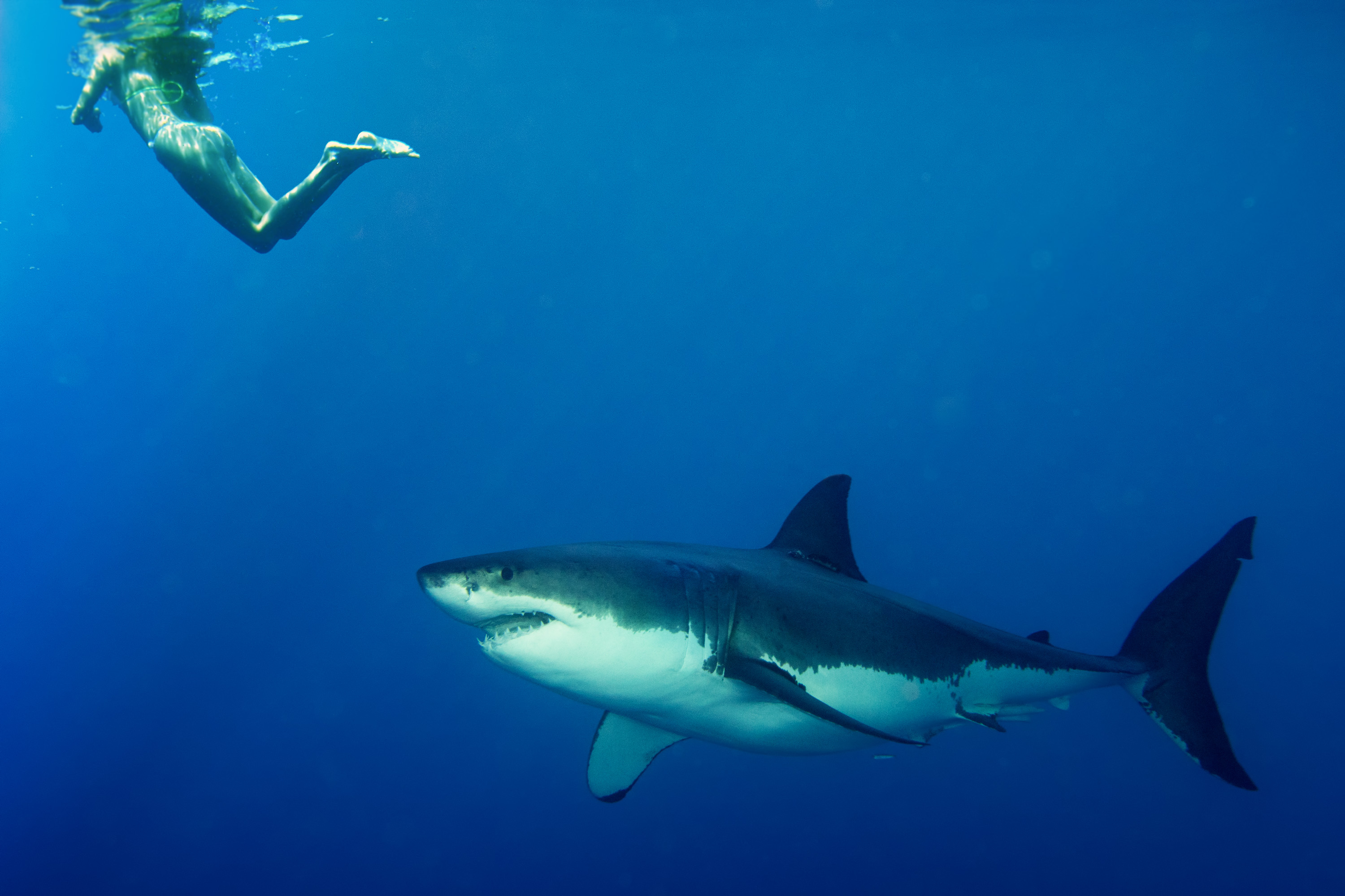 the background of the great white shark and how it attacks its prey 49ers' joe staley provides background of  great white shark  do not crouch down or bend over because it might mistake you for prey and if it attacks,.