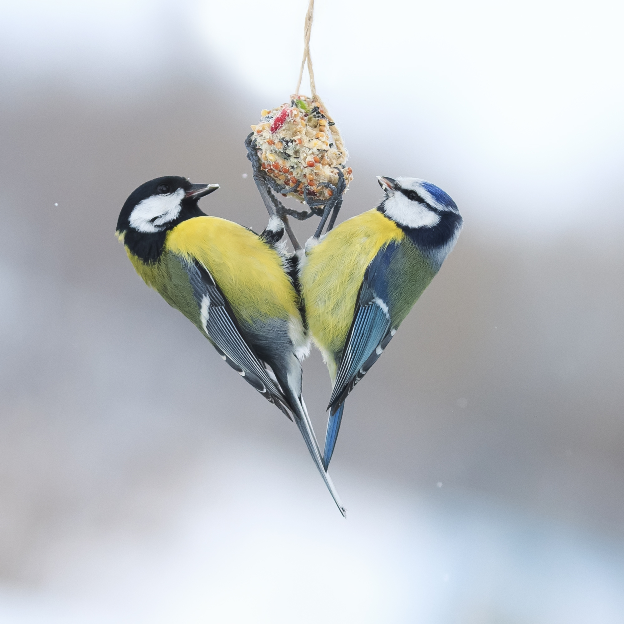 The Christmas Bird Count